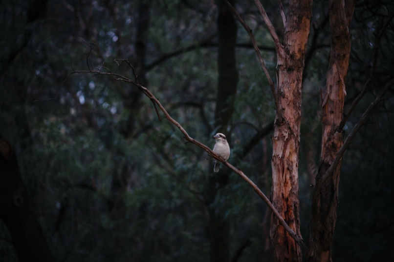 merri creek bike trail melbourne kookaburras